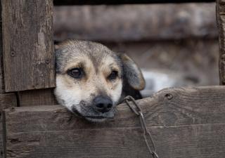 Pies na łańcuchu